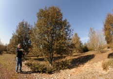 Comment tailler un chêne vert
